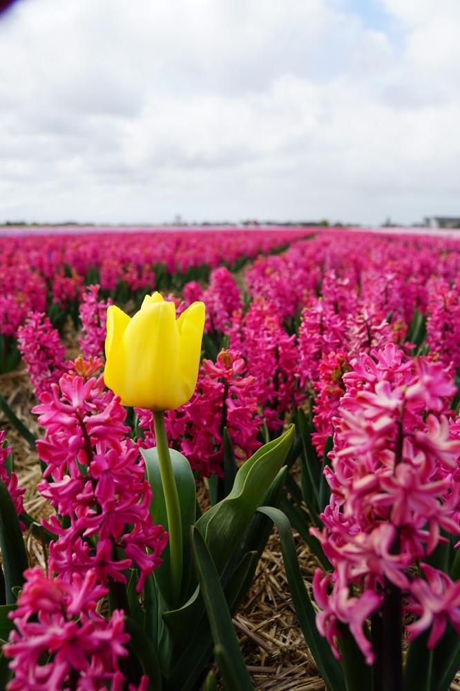 Tulpenvelden Lisse 003