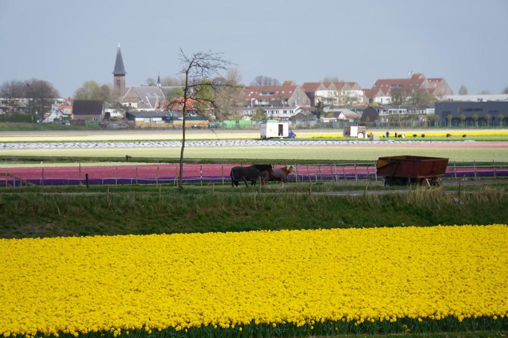 Tulpenvelden Lisse 009
