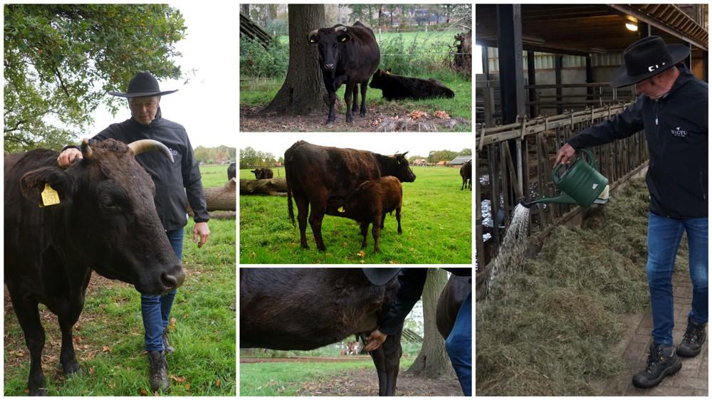 De Wagyu koeien in Delden krijgen bier, massage en klassieke muziek