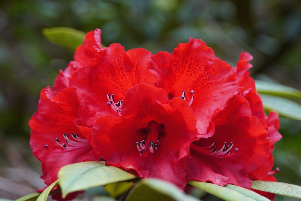 Rododendronvallei Gooilust 113