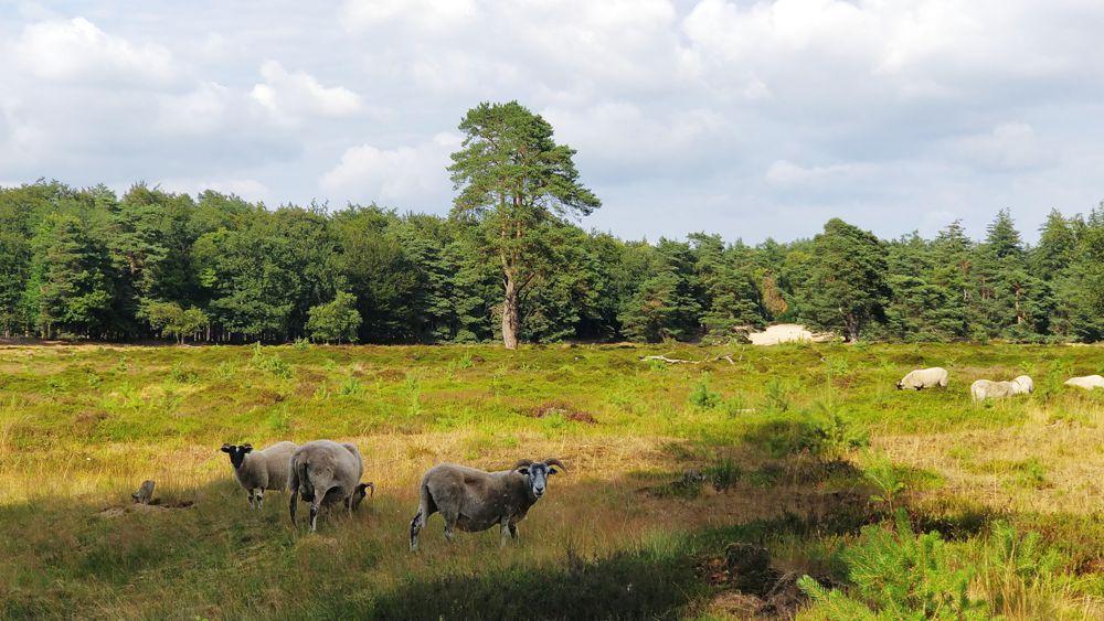 Toerist in eigen land: het Drents heideschaap in Drenthe.