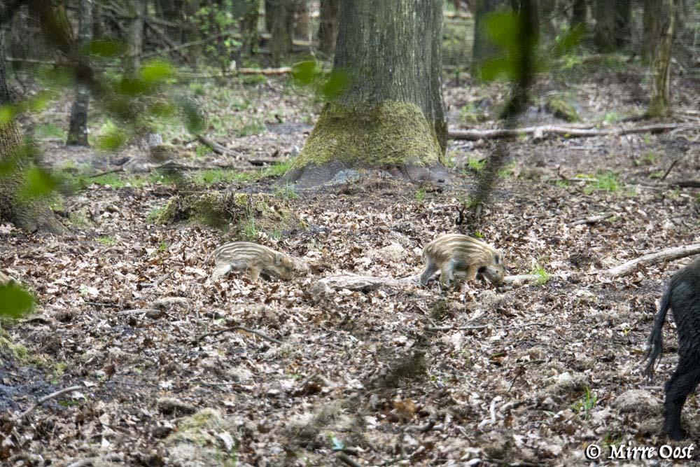 Hoge-Veluwe-jonge-zwijntjes-159