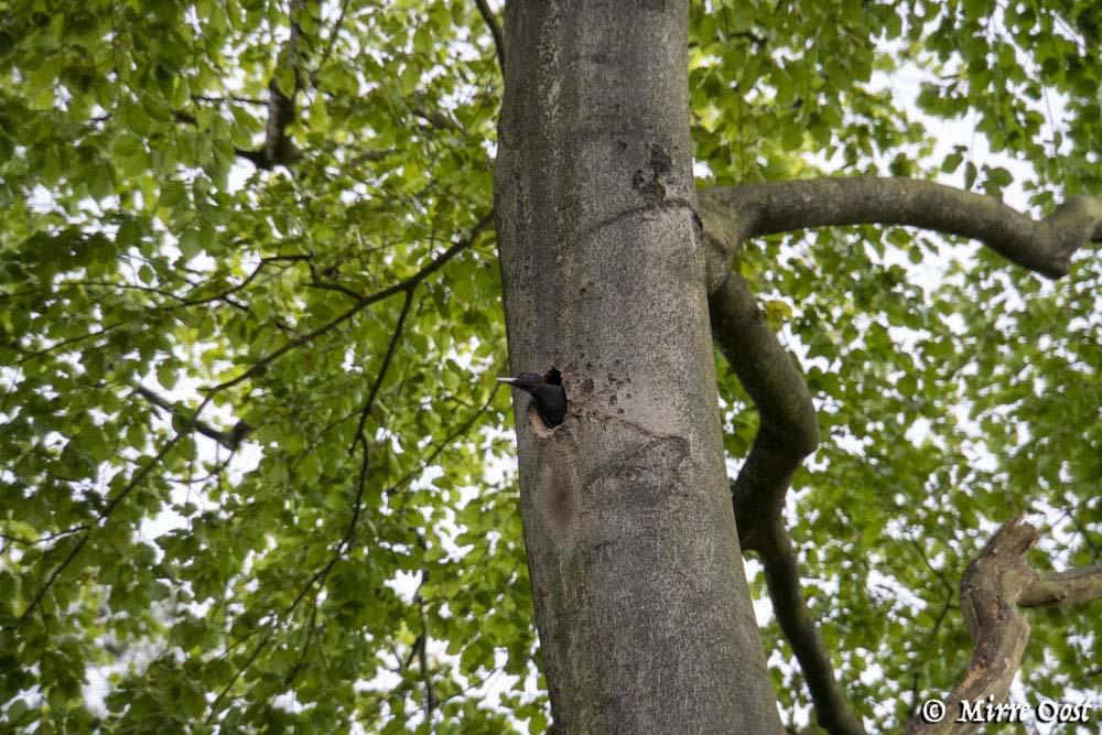 Park-de-Hoge-Veluwe-specht-169