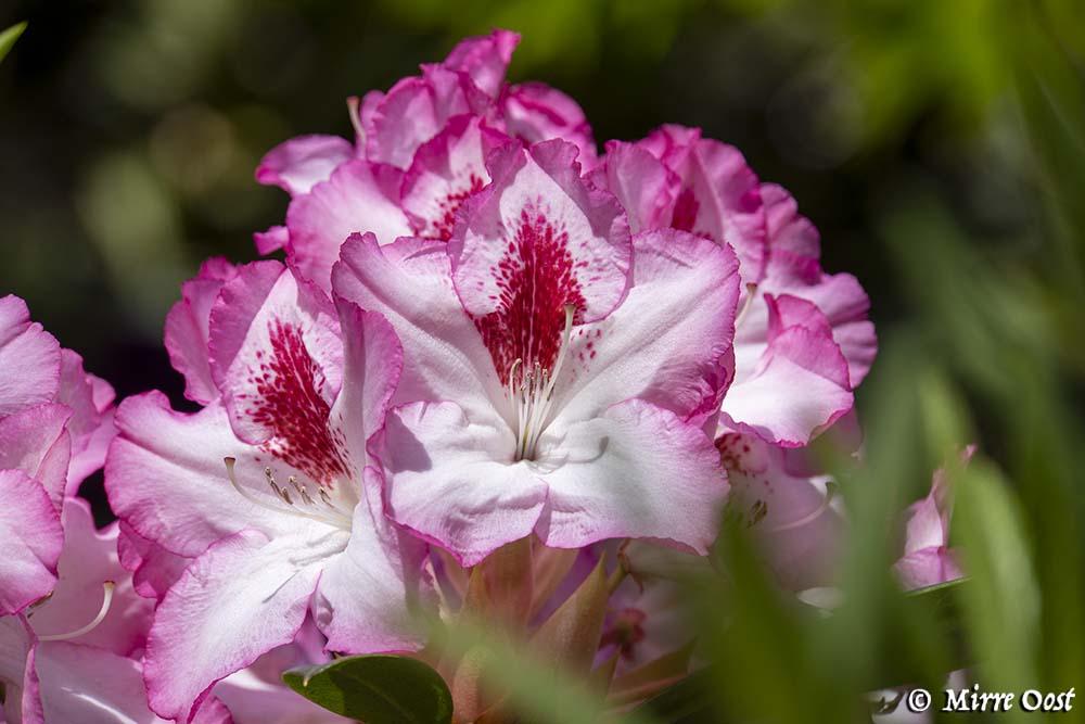 Rododendronvallei-Gooilust-45