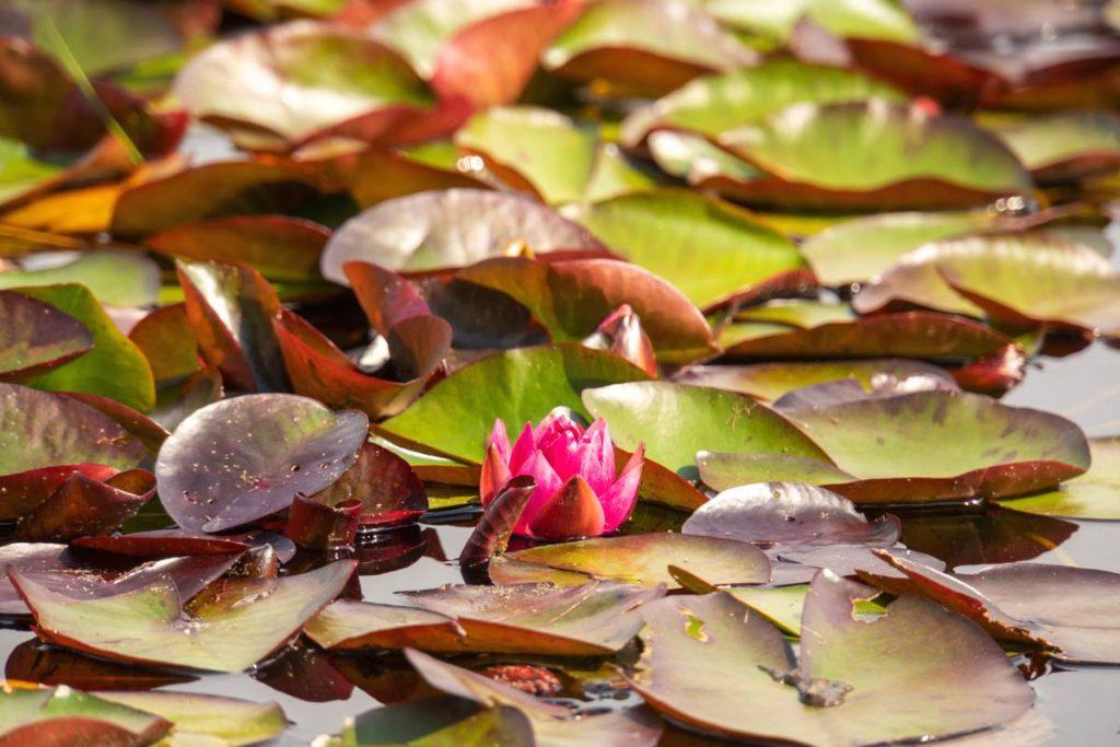 Waterlelies-Dwingelderveld-92