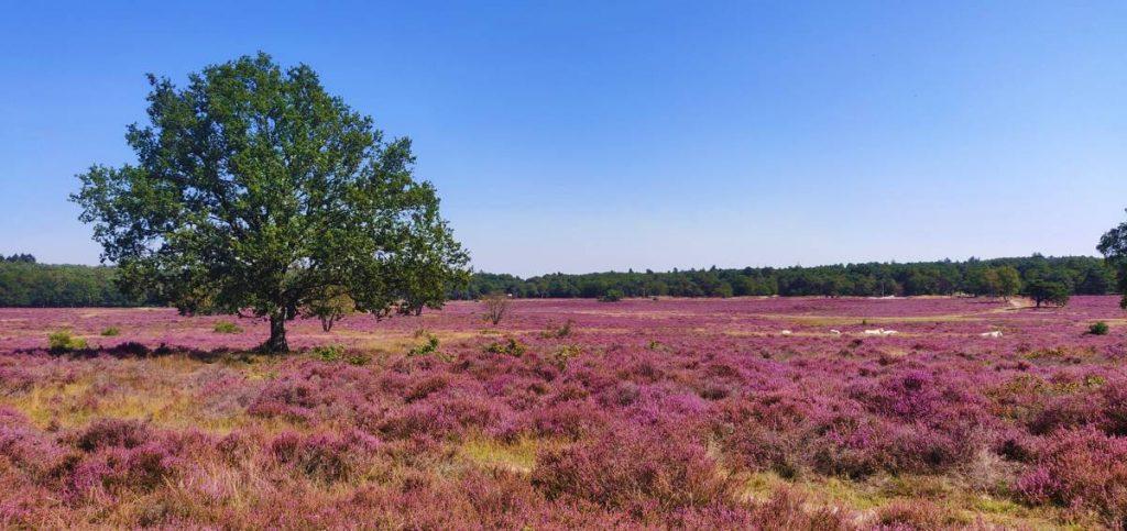 Heidevelden in Nederland - Hoorneboegse heide