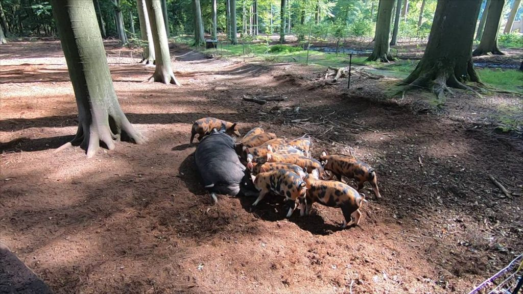 Landgoed-Zuylestein-varkens-001
