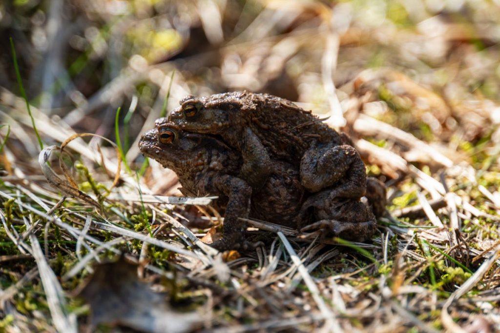 Parende padden Dwingelderveld 89